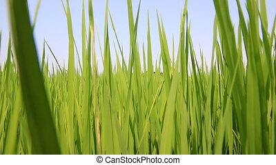 Green paddy rice field - Dolly shot Green paddy rice field,...