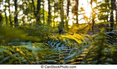 Dolly shot into picturesque deep forest with fern plants and sun rays breaking through