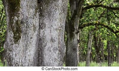 Dolly shot of a grove of Oak Trees, Salem, Oregon