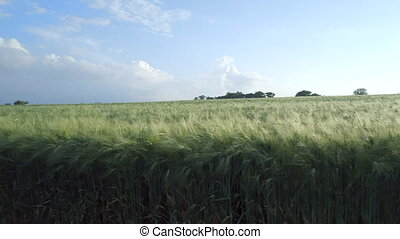 Dolly Shot of a Young Barley Field Before Harvest - Low...
