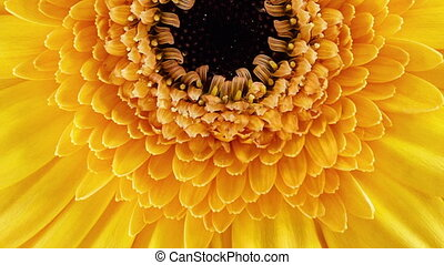 Dolly shot of Gerbera blossom - Lateral dolly shot of a...