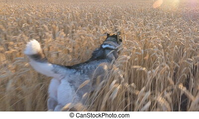 Dolly shot of siberian husky dog running fast among tall spikelets at meadow on sunset. Young domestic animal jogging on golden wheat field at summer day. Sunlight at background. POV Slow motion