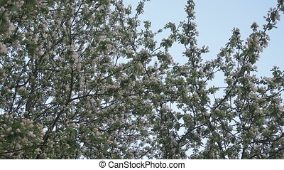 Dolly shot of the apple tree blossoming against the background of the blue spring sky