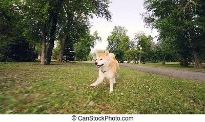 Dolly shot slow motion portrait of adorable dog shiba inu...
