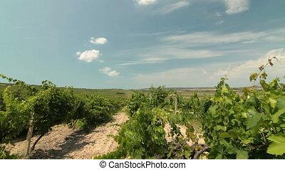 DOLLY:  Vineyard