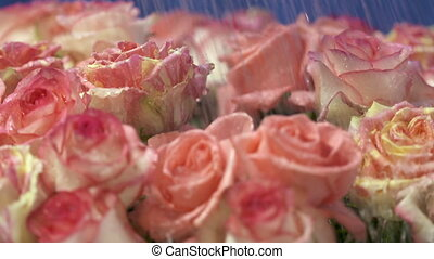 Dolly: Water drops falling on pink cream yellow roses flowers in slow motion