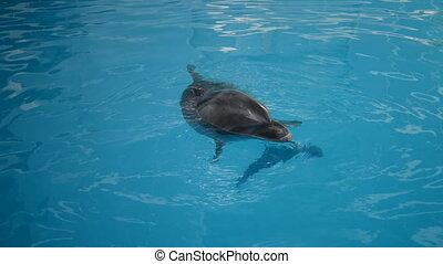 Dolphin are swiming in the aquarium