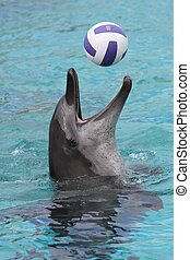 Dolphin Ball Game - Bottlenose dolphin playing a game of...