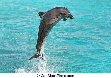 Dolphin Bottlenose - Dolphin making classic leap out of blue...