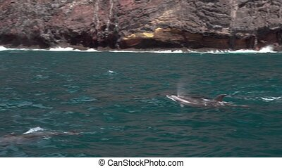 Dolphin in the sea off the coast of the Canary Islands