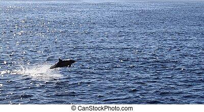 dolphin jump ocean