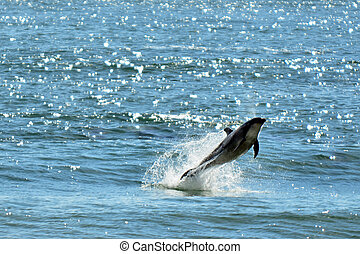 Dolphin jump out of the water - CABLE BAY, NZ - AUG 22: ...