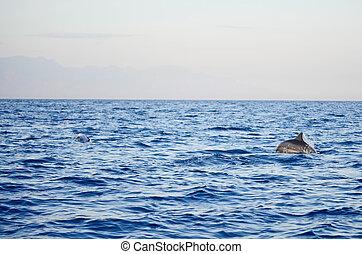 Dolphin jumping. Splashing water. Early morning light. -...