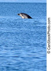 Dolphin leaping out of the water - PAIHIA, NZ - MAY 11 2014:...