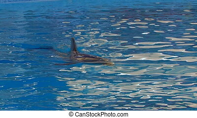 Dolphin like torpedo in blue water, closeup, Canon XH A1,...