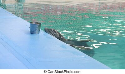 Dolphin on poolside waiting fresh fish in dolphinarium -...
