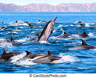 Dolphin Patrol - A group of common dolphins in Mexico. Image...