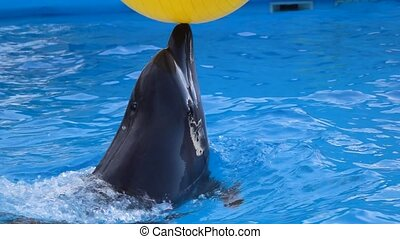 Dolphin playing with yellow ball. Slow motion - Dolphin...
