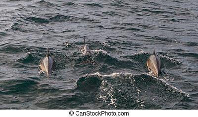 Dolphin pod - A pod of short beaked common dolphin Delphinus...
