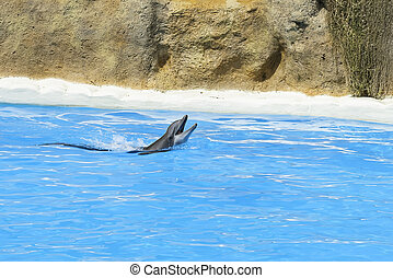 Dolphin rise head above blue water and sign. Closeup of dolphin head. Intelligent mammal in the pool. Bottlenose dolphin