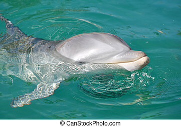 Dolphin Smiling Close Up in Water