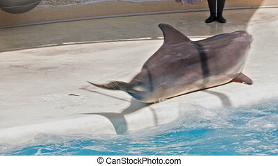 Dolphin Spinning in One Place - cheerful dolphin in the...