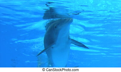 Dolphin - playful dolphins in aquarium