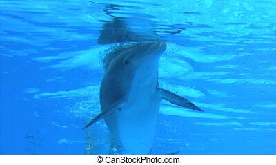 Dolphin - playful dolphins in aquarium