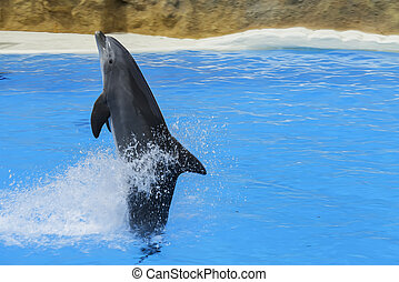 Dolphin swim above blue water with his fin. Closeup of dolphin. Intelligent mammal in the pool. Bottlenose dolphin