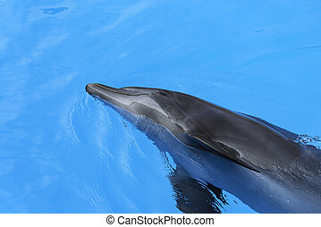 Dolphin swim in the blue water. Closeup of dolphin head. Intelligent mammal in the pool. Bottlenose dolphin