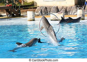dolphin through hoop - dolphin jumping through a  hoop