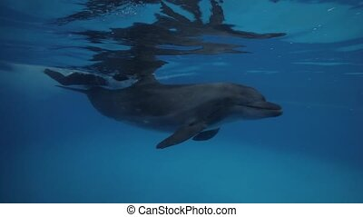 Dolphin with trainer swimming underwater in dolphinarium...