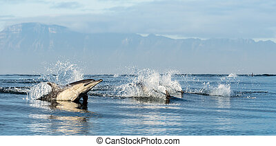 Dolphins in the ocean. Dolphins swim and jumping out of water. The Long-beaked common dolphin. Scientific name: Delphinus capensis. False Bay. South Africa.
