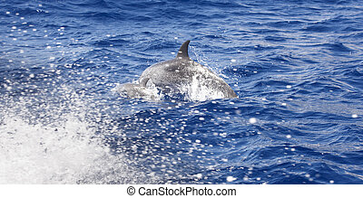 Dolphins jumping in the atlantic ocean. Azores island