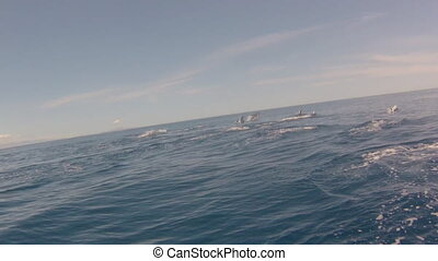 Dolphins jumping Mexico - A hundred dolphins group swim and...