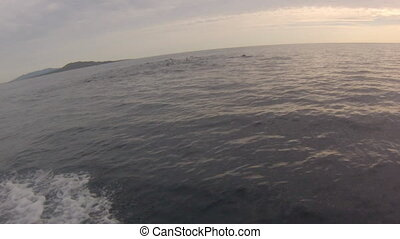 Dolphins jumping Mexico - Several dolphins jumping and...