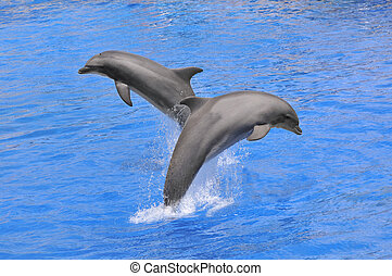 Two bottlenose dolphins (Tursiops truncatus) jumping up out of water