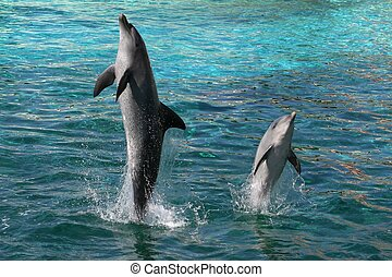 Dolphins Jumping - Two Indian Ocean bottlenose dolphins...