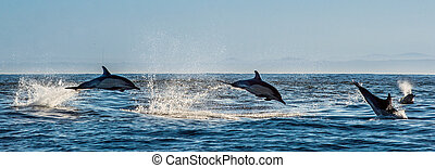 Dolphins, swimming in the ocean and hunting for fish. Dolphins swim and jumping from the water. The Long-beaked common dolphin (scientific name: Delphinus capensis) in atlantic ocean.