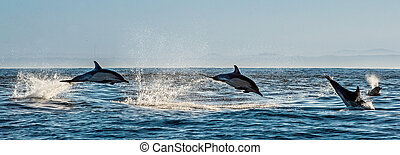 Dolphins, swimming in the ocean and hunting for fish. Dolphins swim and jumping out of the water. The Long-beaked common dolphin (scientific name: Delphinus capensis) in atlantic ocean.