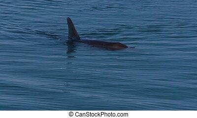 Dolphins underwater shot - A medium shot of dolphins...