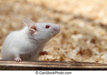 dom, mysz