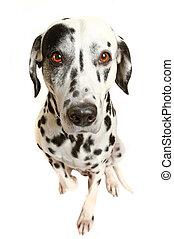 domestic animal - Bright eyes. Dalmatian, Charlie Thomson.