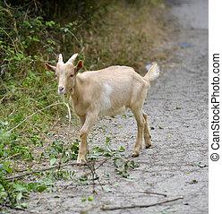 domestic animal goat grazing ,image