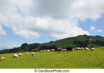 domestic animal on Appenzell  - domestic animal on Appenzell