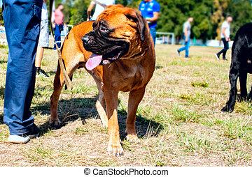 domestic animal - Pet large red dog bullmastiff . Man with...