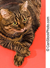 domestic animal: fanny cat on the red background