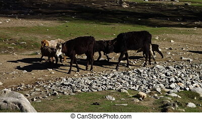 A hand held, panning, medium shot of a few black and brown domestic animals which are searching for some fresh food.