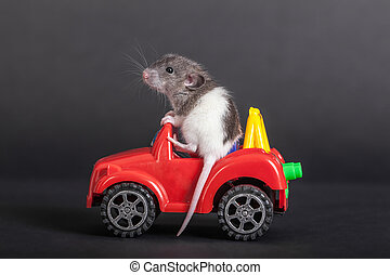 baby rat on the toy car