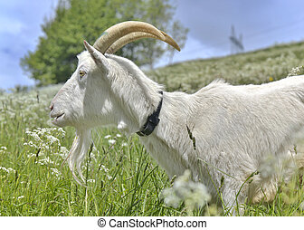 billy goat in green alpine meadow - domestic billy goat in...